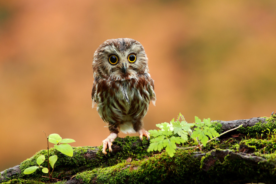 Young Owl is So Cute