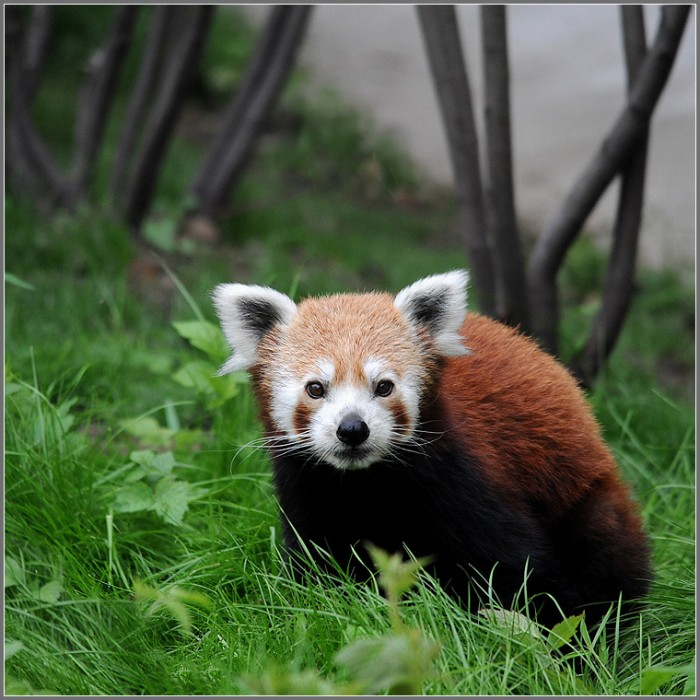 The Cutest Red Panda Ever Seen