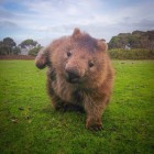 Fierce wombat stance
