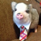 Business pig is the best pig.