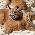 Caracal Kitties Have a Day at the Beach!