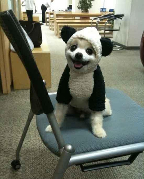 Cute dog in panda costume
