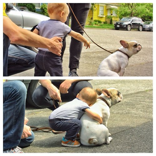 Little boy meets french bulldog..