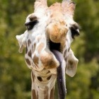 animals-that-look-like-miley-cyrus-1