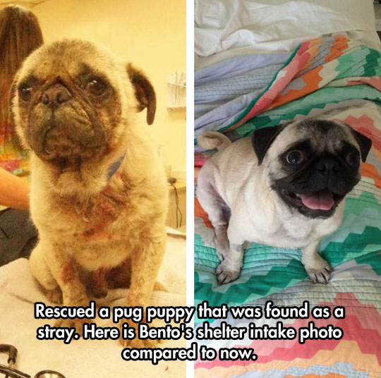 cool-rescued-dog-stray-pug