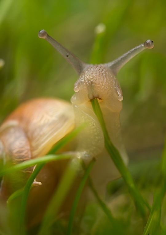 funny-snail-transparent-eating-grass