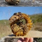 cool-Armadillo-Girdled-Lizard-animal-tail
