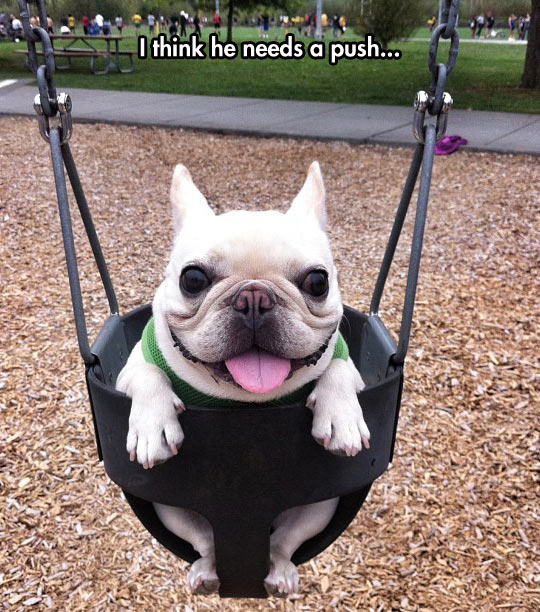funny-French-Bull-dog-swing