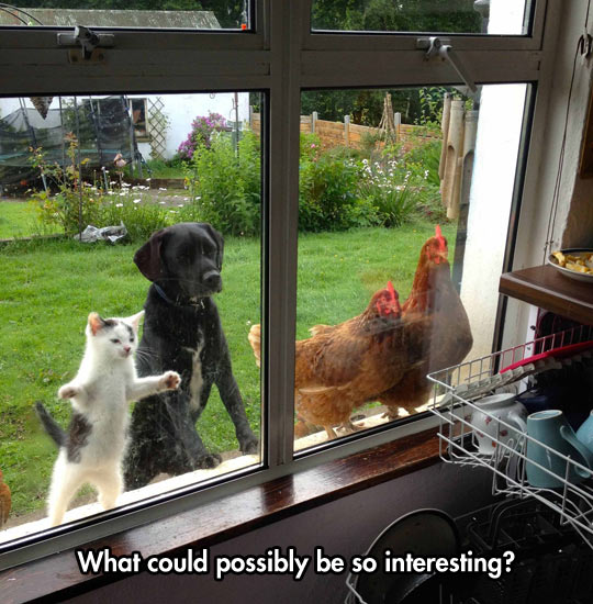 funny-cat-dog-chicken-windows