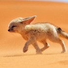 Desert Foxes Deserve More Recognition