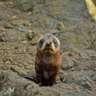 cool-baby-seal-New-Zealand