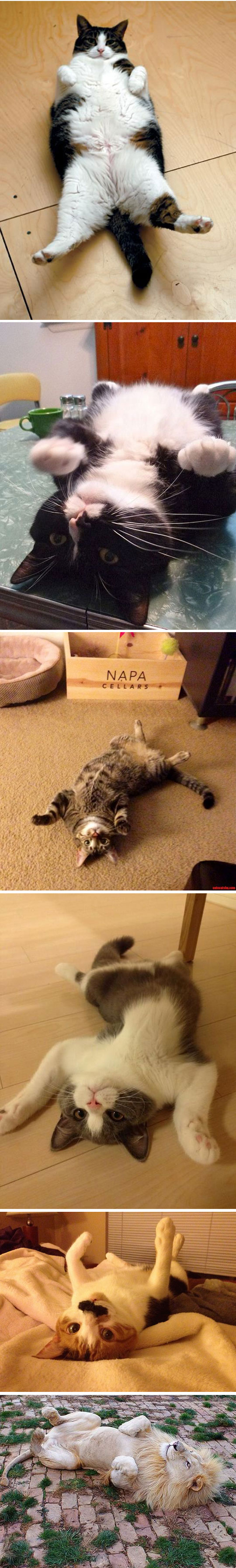 funny-cats-laying-floor-lion