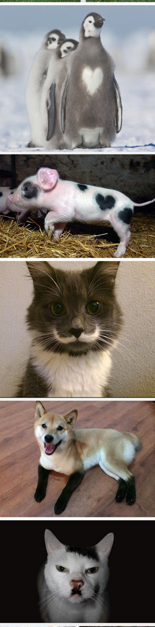 funny-dog-cat-unusual-fur-marking-pig