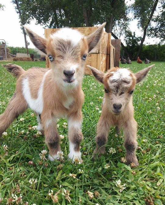 funny-goat-baby-farm-adorable