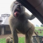 funny-monkey-car-glass-licking