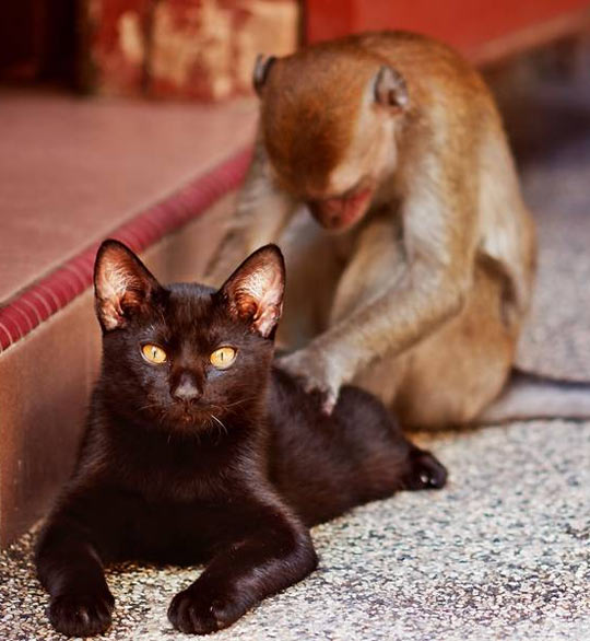funny-monkey-massaging-cat