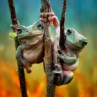 funny-tree-frogs-hanging-branch