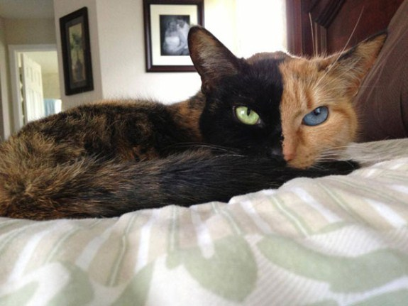 two-faced-chimera-cat-venus-32