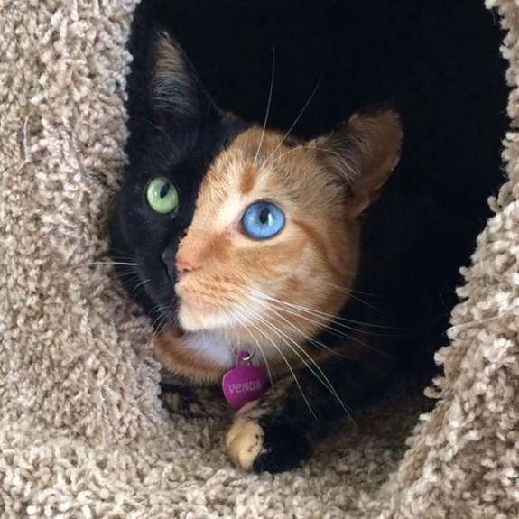 two-faced-chimera-cat-venus-60