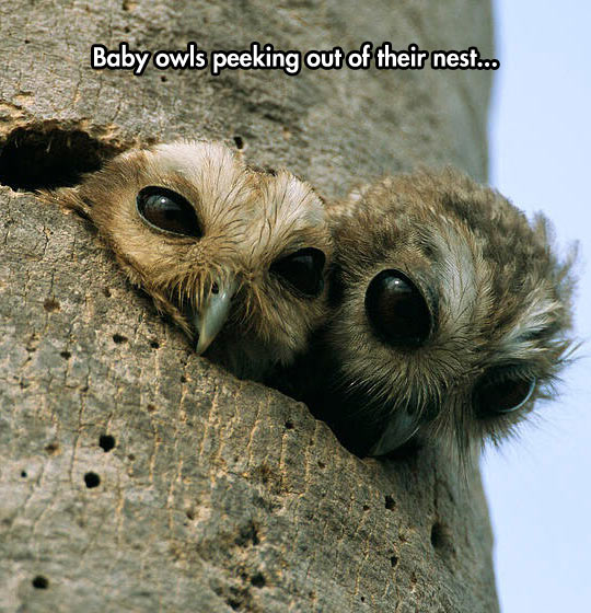 funny-baby-owls-peeking-tree
