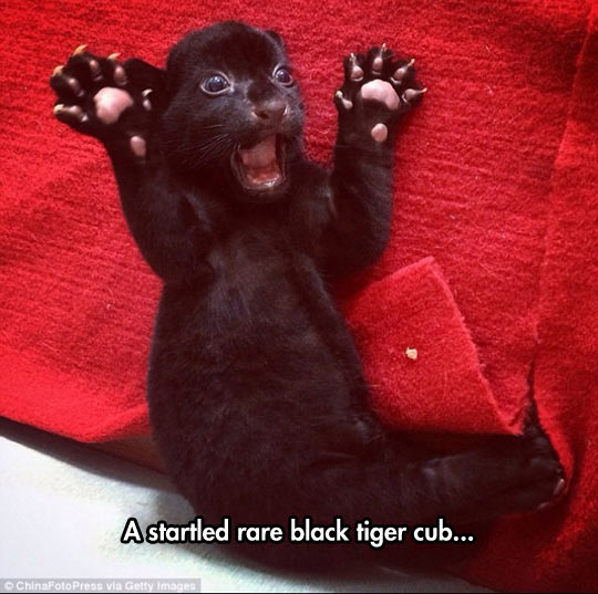 funny-black-tiger-cub-cute