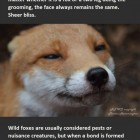 funny-cute-domestic-fox-Pudding