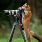 funny-fox-camera-taking-photo