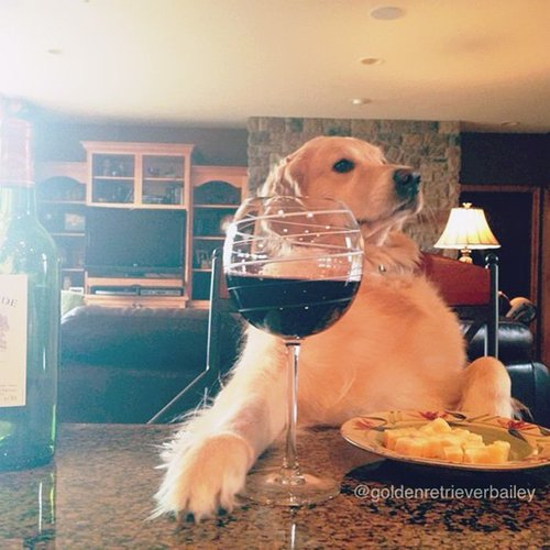 Bailey the Golden Retriever is the Cutest Dog on the Internet Right Now 04