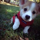 cute-puppy-dog-corgi-grass
