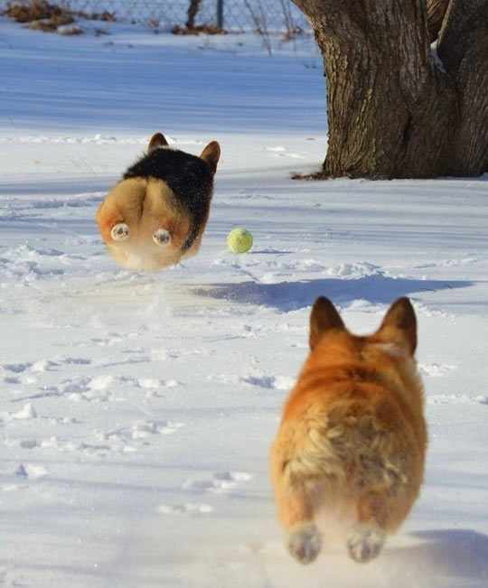 funny-dog-corgi-flight-ball