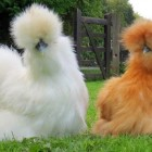funny-fluffy-chicken-farm-cute