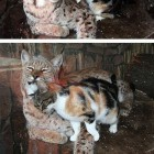 funny-stray-cat-zoo-ocelot