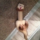 Ferret Trapped In A Toilet Paper Roll