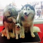 The Cutest Husky Puppy Family