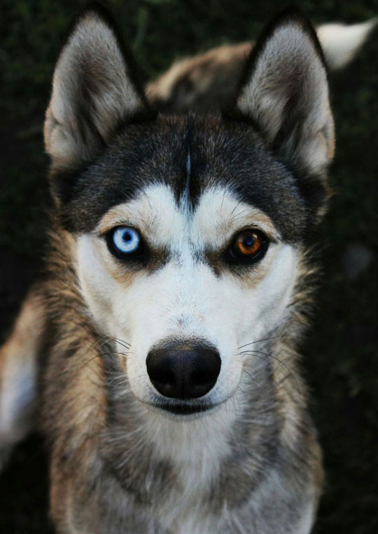 cool-dog-husky-eyes-color-different
