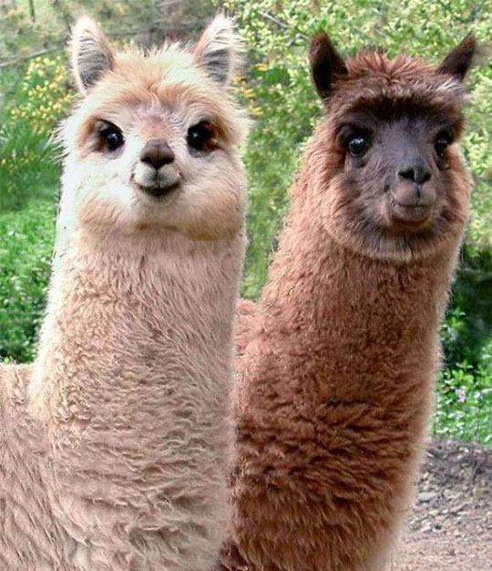 cute-alpacas-fur-eyes