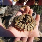 cute-armadillo-lizard-little-hand