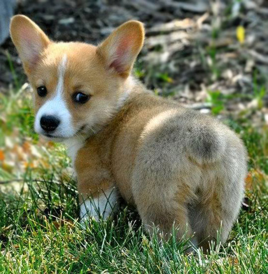 cute-baby-corgi-grass-fluffy