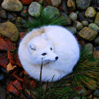 Beautiful Photo Of An Arctic Fox
