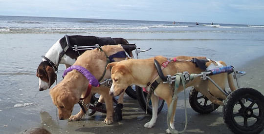 Curious Dogs In Wheelchairs