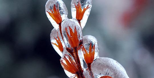 Flowers After Ice Storm