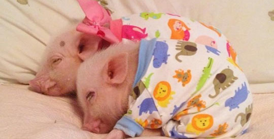Two Pigs On A Blanket