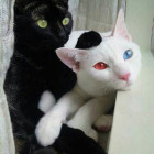 cool-ice-fire-eyes-cat-white