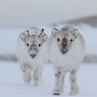 cute-baby-reindeer-animals-snow-winter