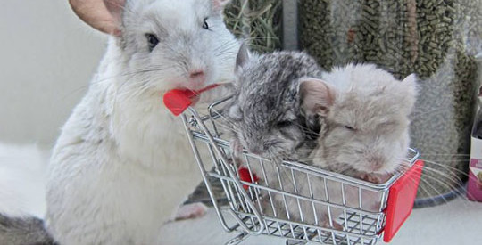 Chinchilla Mom, And Her Two Little Ones