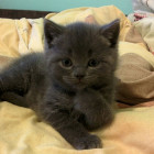 cute-gray-kitty-thinking-pose