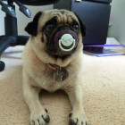 funny-dog-pug-baby-pacifier