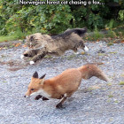funny-fox-Norwegian-forest-cat