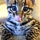 Ocelot Kittens Deserve More Attention