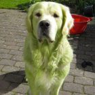 hulk-dogs-who-regret-rolling-around-in-mowed-grass